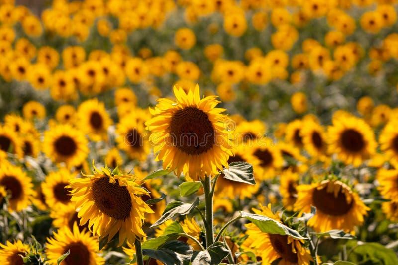 Girasoles en el sol imagen de archivo