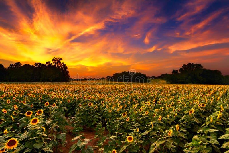 Girasoles en la puesta del sol imagen de archivo