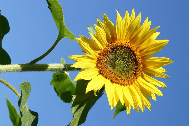Download Girasoles hermosos imagen de archivo. Imagen de cosecha - 1283845