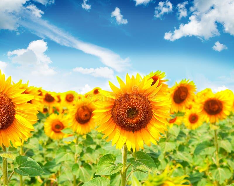 Girasoles hermosos con imagen del cielo azul imagen de archivo libre de regalías