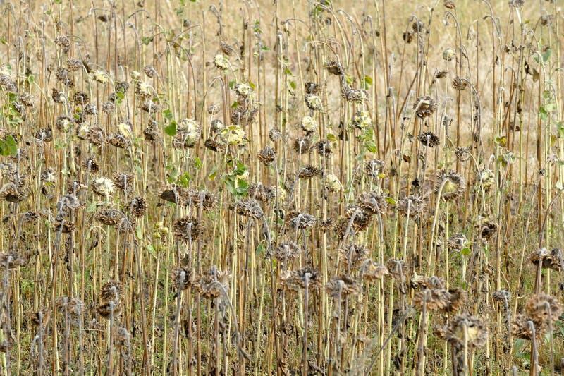 Girasoles madurados listos para cosechar para sus semillas foto de archivo libre de regalías