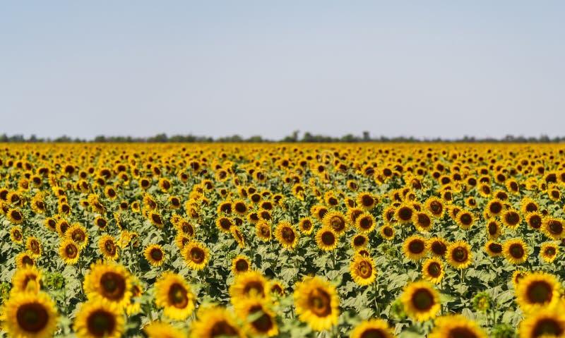 Girasoles que crecen en un campo en una granja fotografía de archivo libre de regalías
