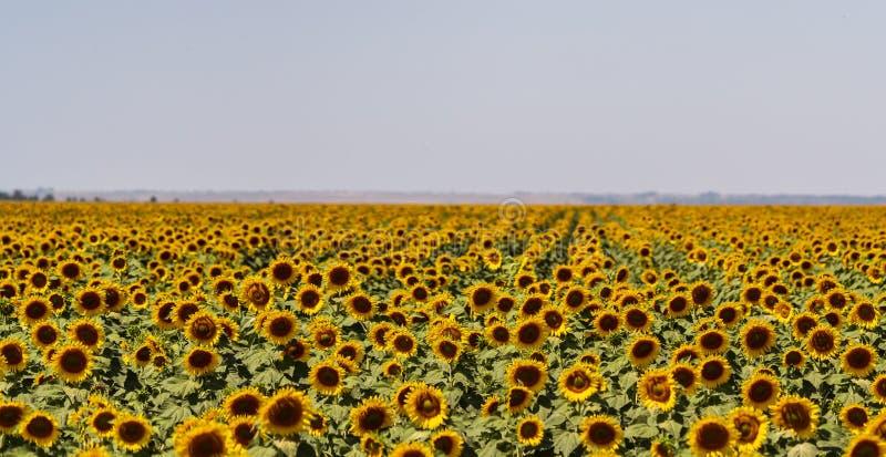 Girasoles que crecen en un campo en una granja imagenes de archivo