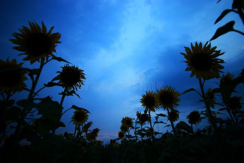 Download Girasoli immagine stock. Immagine di polline, seme, petalo - 212153
