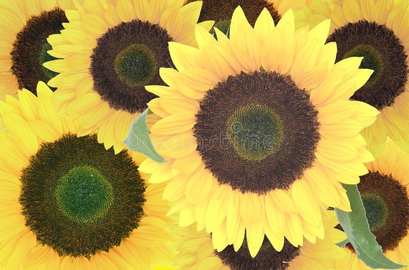 Download Girasoli immagine stock. Immagine di coltivato, bellezza - 3143867