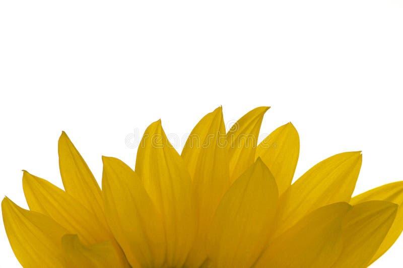 Download Girasoli fotografia stock. Immagine di girasole, fiori - 7321516