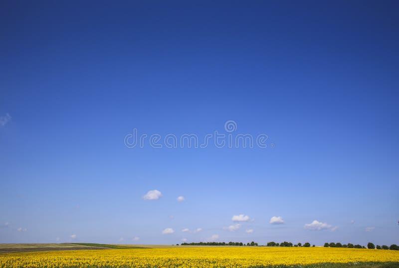 Girasoli campo e cielo fotografie stock