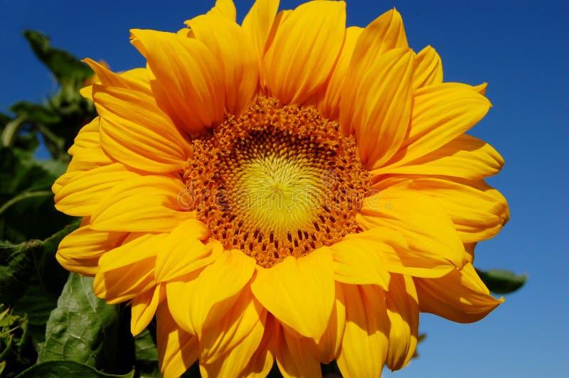 Girasoli di fioritura luminosi immagine stock