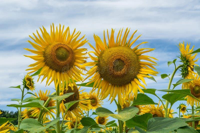 Girasoli di fioritura in un campo con i petali rotanti fotografia stock