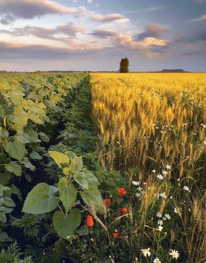 Girasoli e camomille nel giacimento di grano fotografia stock libera da diritti