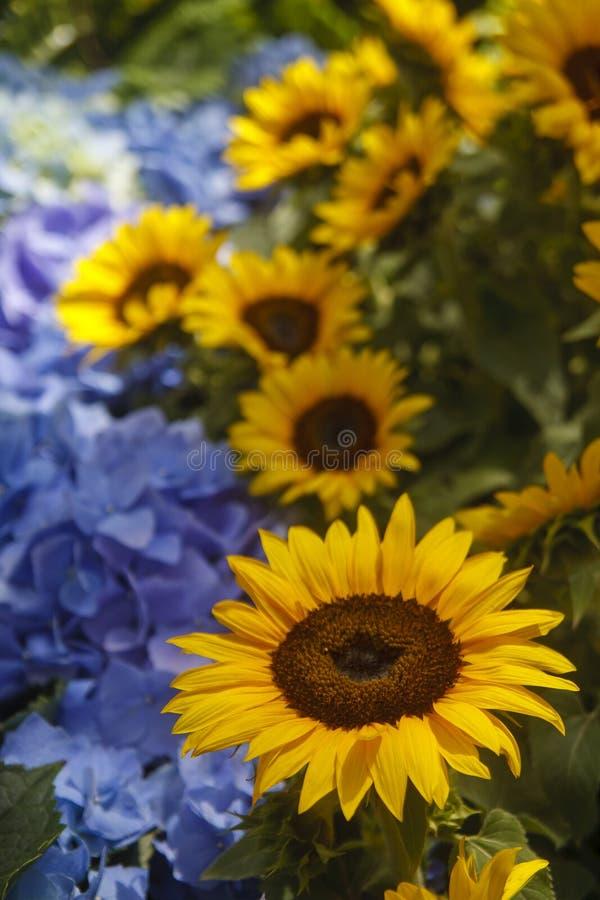 Girasoli e Hydrangeas blu fotografia stock