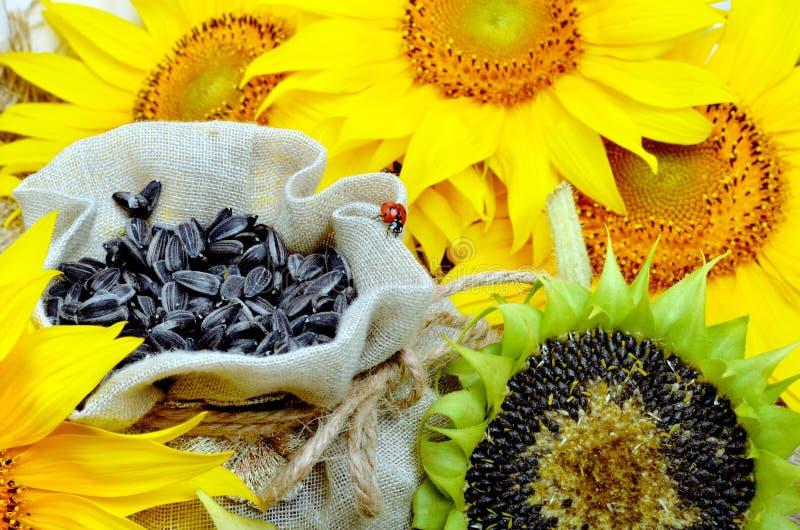 Girasoli e semi di girasole fotografia stock libera da diritti