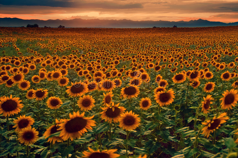 Girasoli e tramonto sulle pianure del Colorado immagine stock libera da diritti