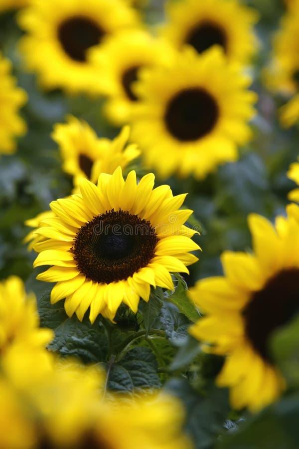 Girasoli in fioritura fotografia stock