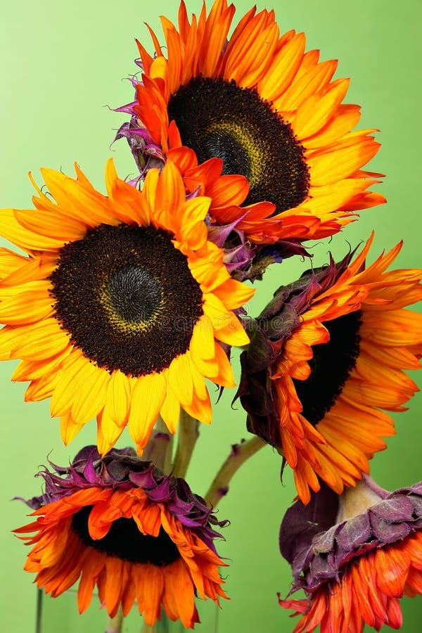 Girasoli gialli/arancioni fotografia stock libera da diritti