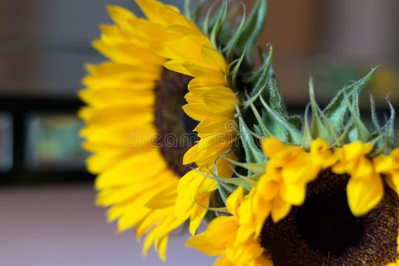 Girasoli gialli luminosi fotografie stock