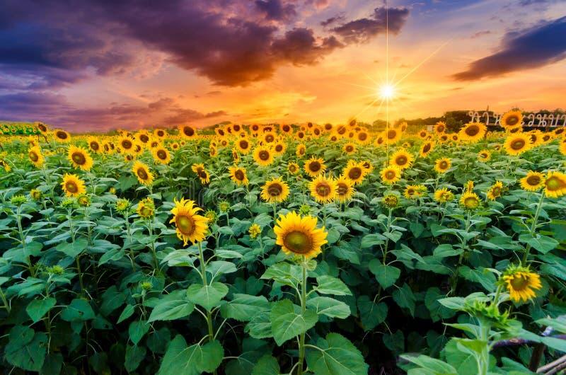 Girasoli piena fioritura e luce di mattina immagini stock