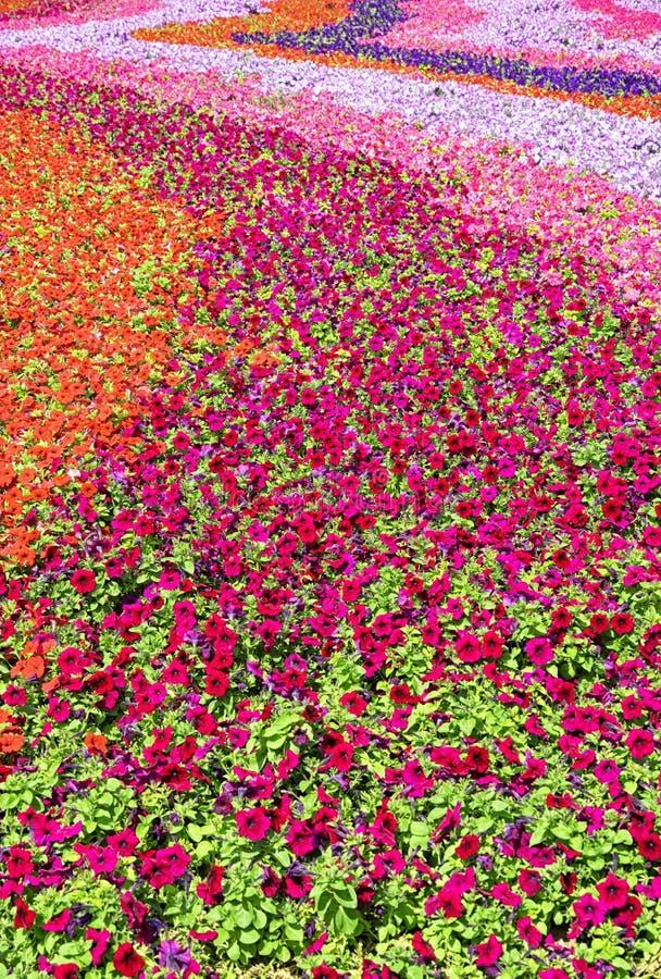 Girasoli selvaggi in fioritura fotografie stock libere da diritti