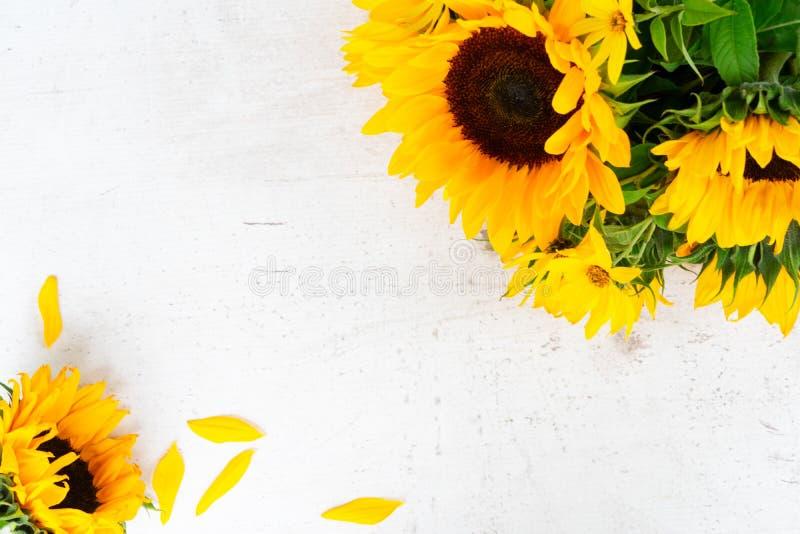 Girasoli su bianco fotografia stock libera da diritti