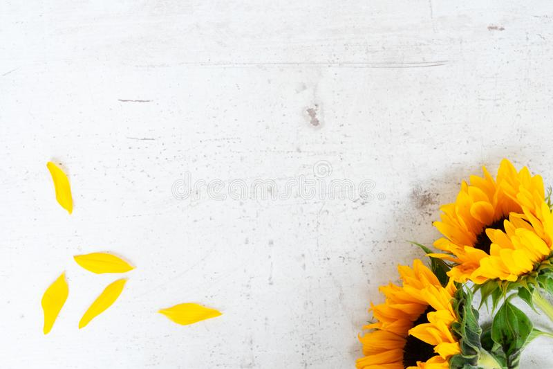 Girasoli su bianco fotografia stock