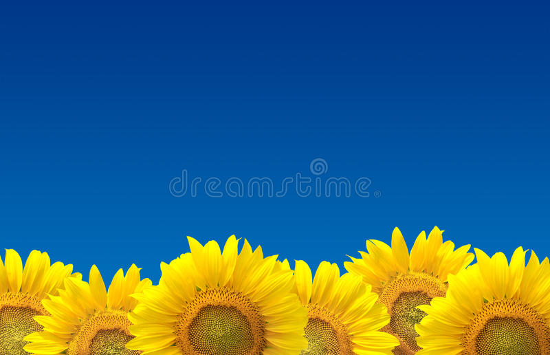 Girasoli su cielo blu fotografia stock