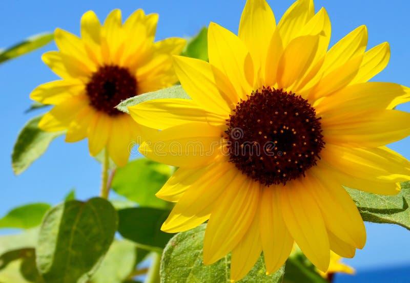 Girasoli su un fondo del cielo blu un giorno di estate Fiore giallo immagine stock libera da diritti