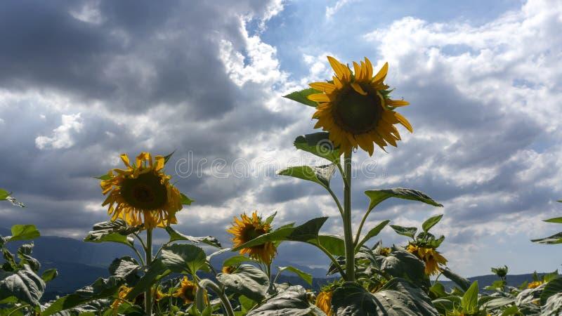 Girasoli in tempo nuvoloso denso nell'ambito di luce solare fotografie stock