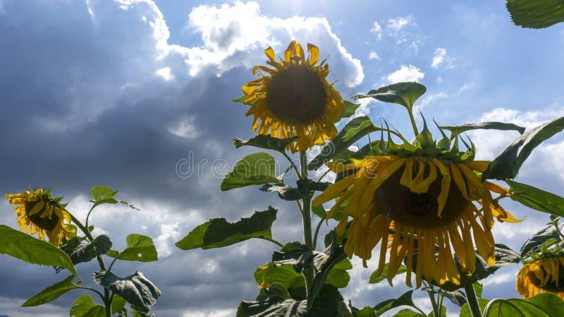 Girasoli in tempo nuvoloso denso nell'ambito di luce solare fotografie stock libere da diritti