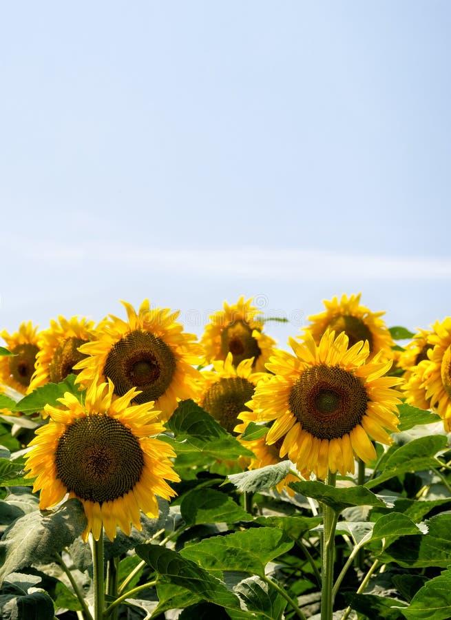 Girasoli in un campo contro cielo blu naturale, con lo spazio della copia agricoltura Formato verticale fotografia stock