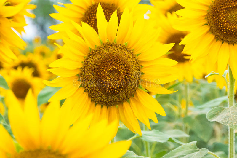Girassóis amarelos imagens de stock royalty free