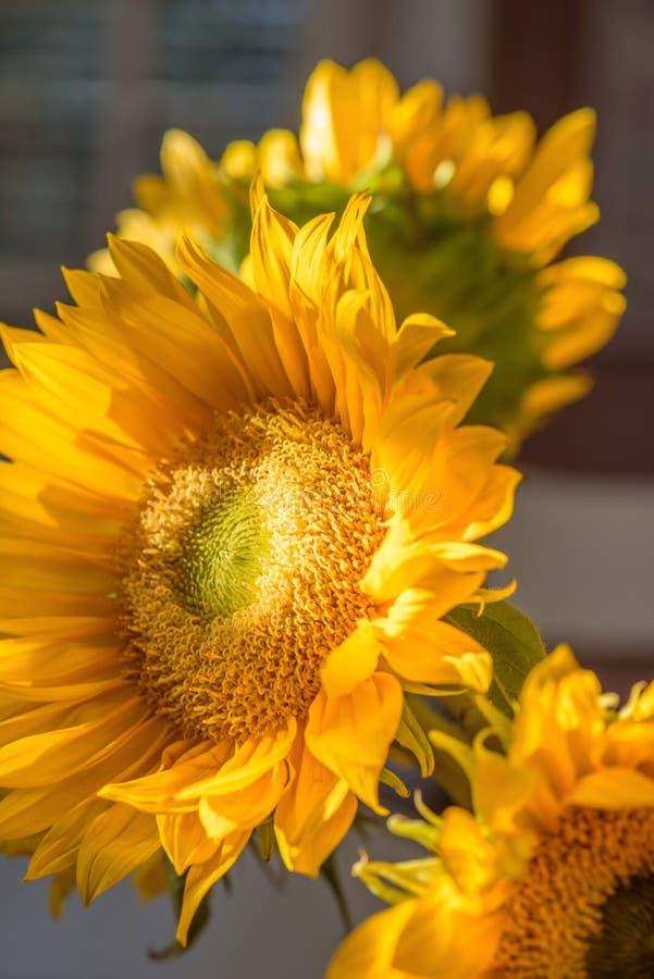 Girassóis amarelos brilhantes no vaso fotos de stock royalty free
