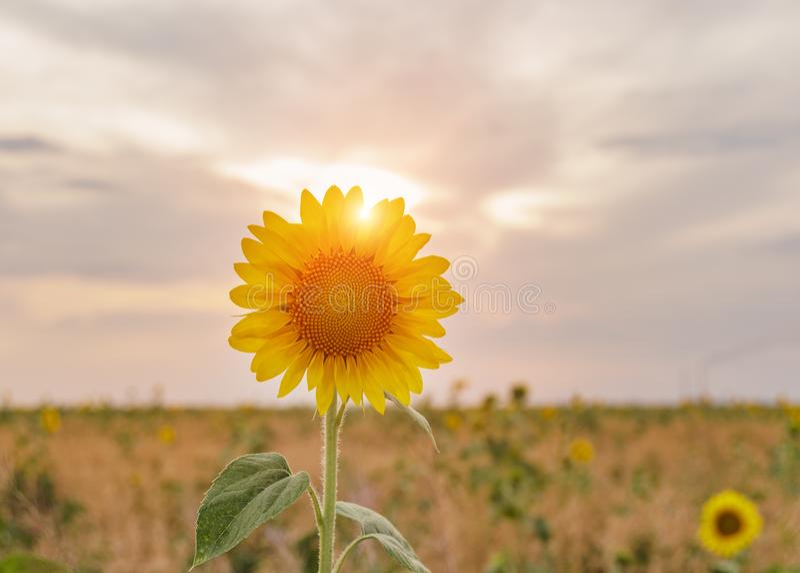 Girassóis amarelos brilhantes sobre no fundo do céu azul fotografia de stock