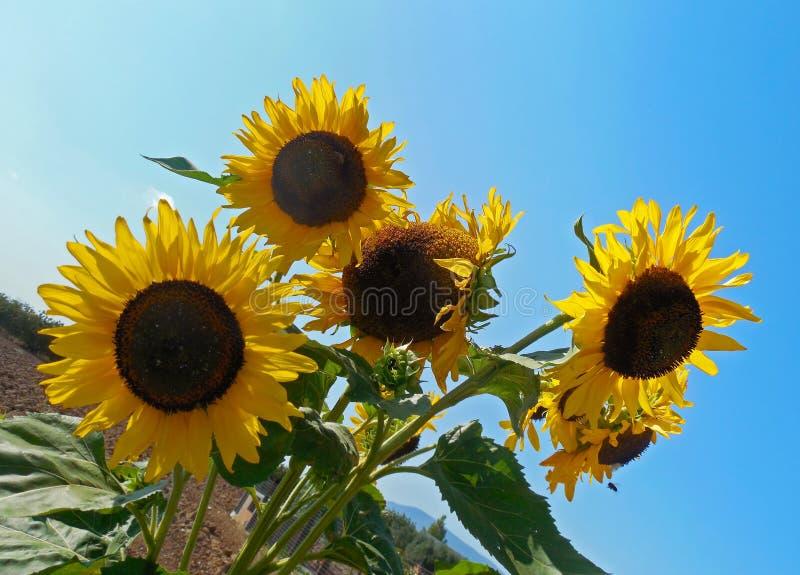 Girassóis amarelos de florescência - flor de Helios - fundo do céu azul fotografia de stock