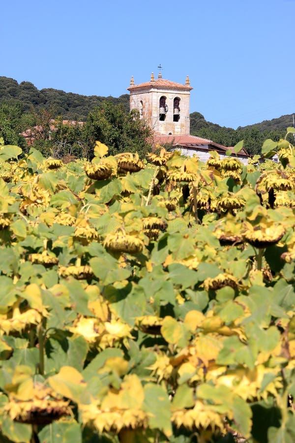 Girassóis amarelos no outono em Spain fotos de stock royalty free