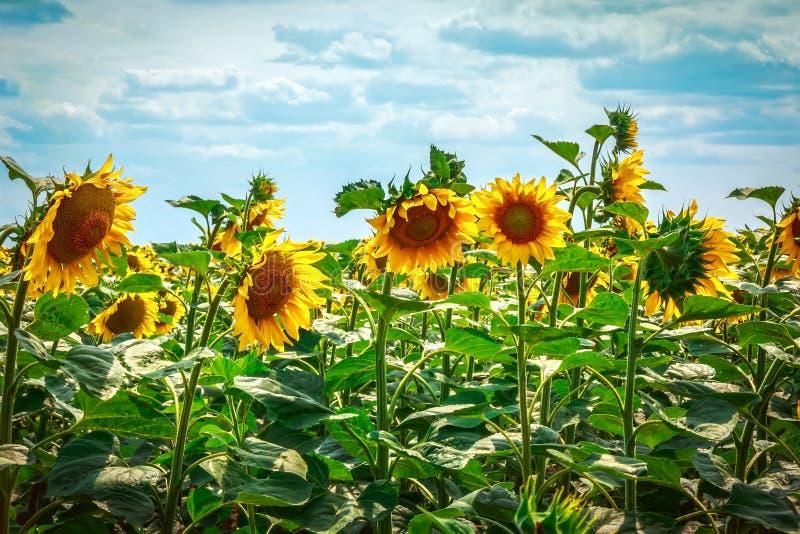 Girassóis bonitos contra o céu azul Flor amarela brilhante fotos de stock royalty free