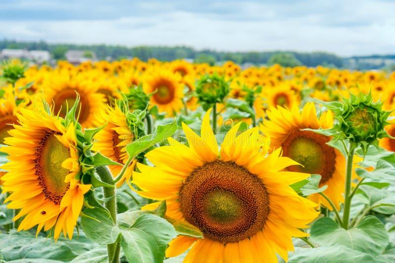 Girassóis de florescência e polinizar-los abelhas do mel imagem de stock