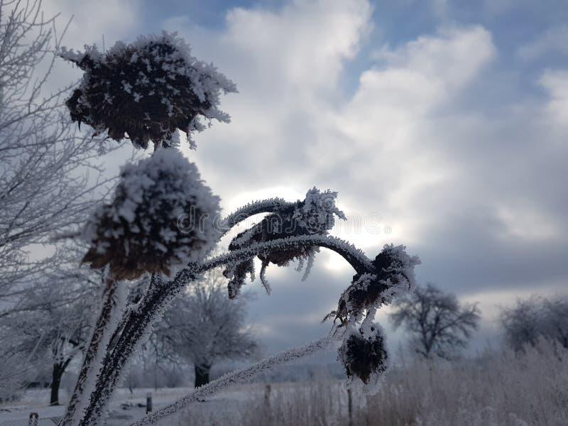 Girassóis do inverno imagem de stock