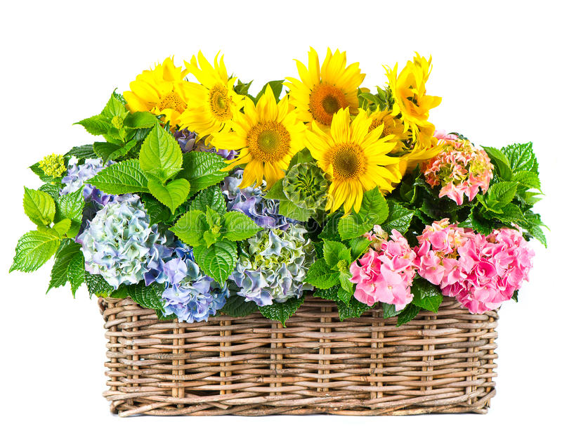 Girassóis e arbustos coloridos do hydrangea fotos de stock royalty free