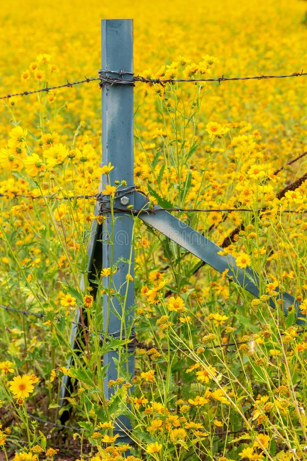 Girassóis em um campo com as flores que cercam a cerca Post imagens de stock