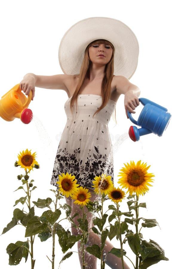 Girassóis molhando da mulher foto de stock