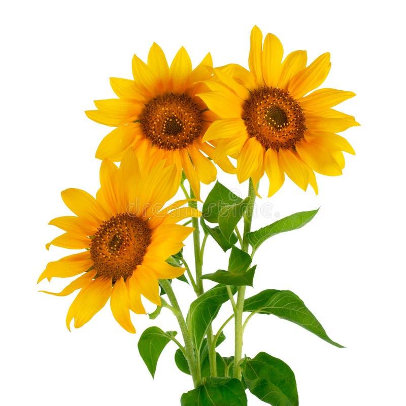 Girassóis na flor foto de stock