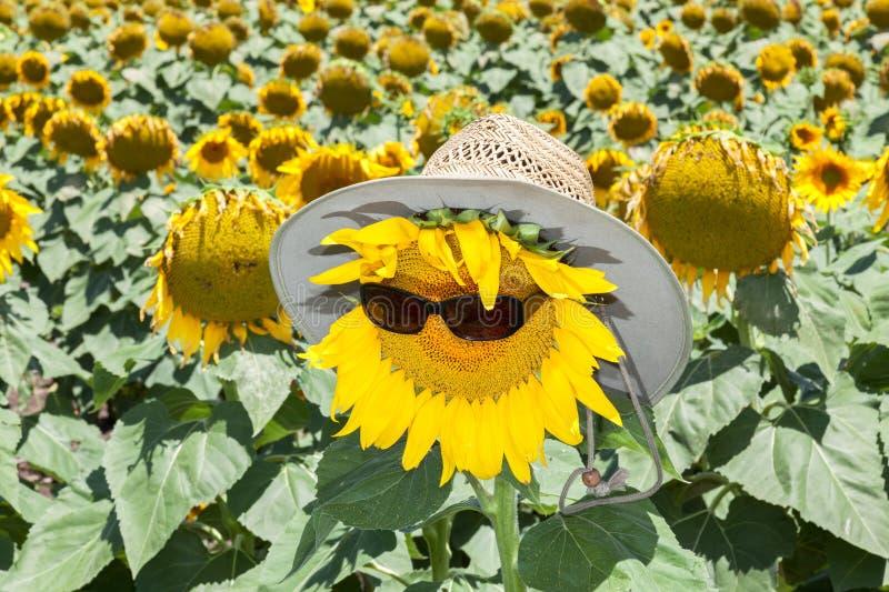 Girassóis que são cofre forte do sol imagens de stock