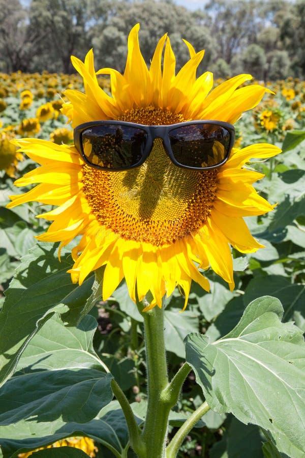 Girassóis que são sol seguro contra uv fotografia de stock