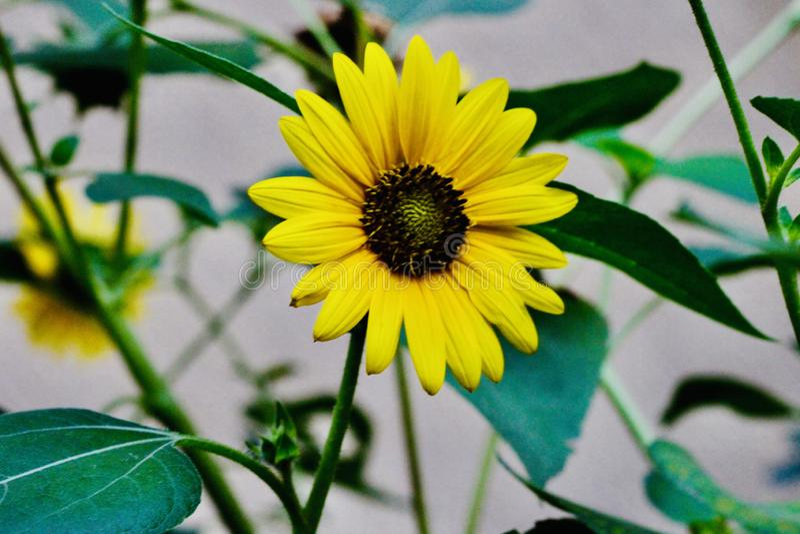 Girass?is amarelos bonitos nos campos fotografia de stock royalty free
