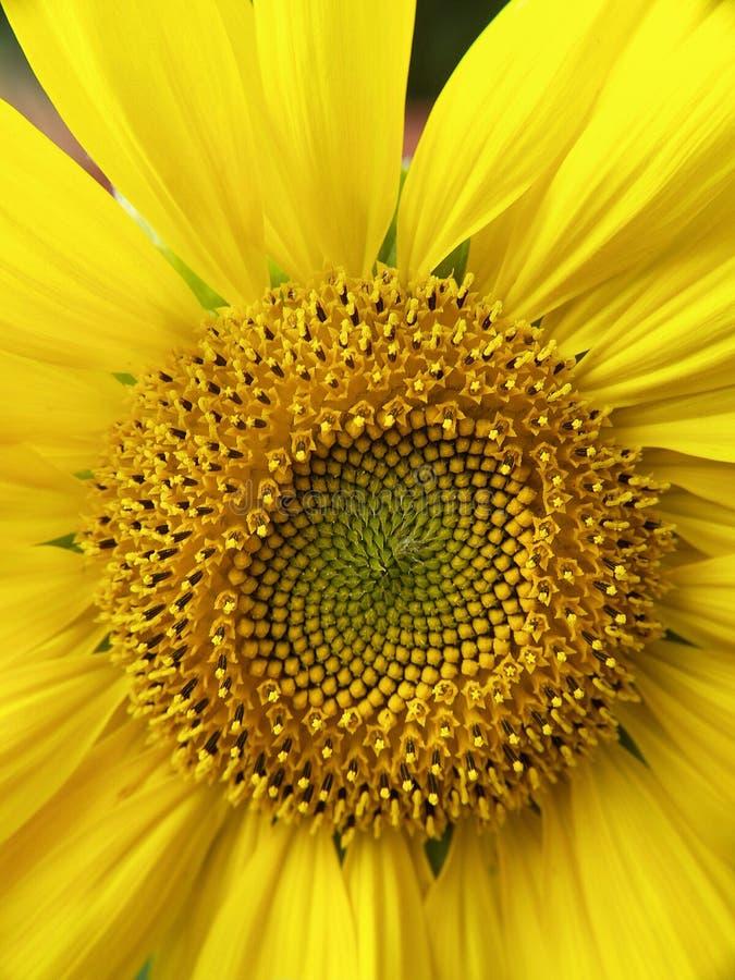 Download Girassol imagem de stock. Imagem de planta, jardim, folhas - 12803123