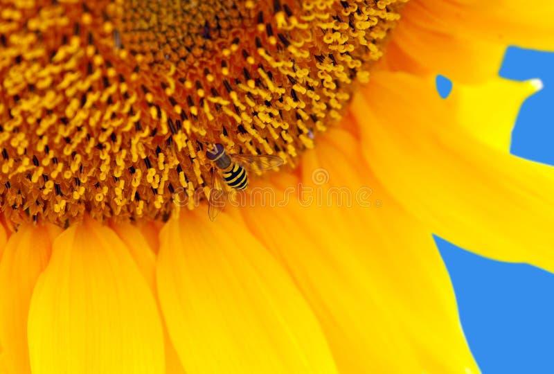 Download Girassol imagem de stock. Imagem de outdoors, abelha - 26513861