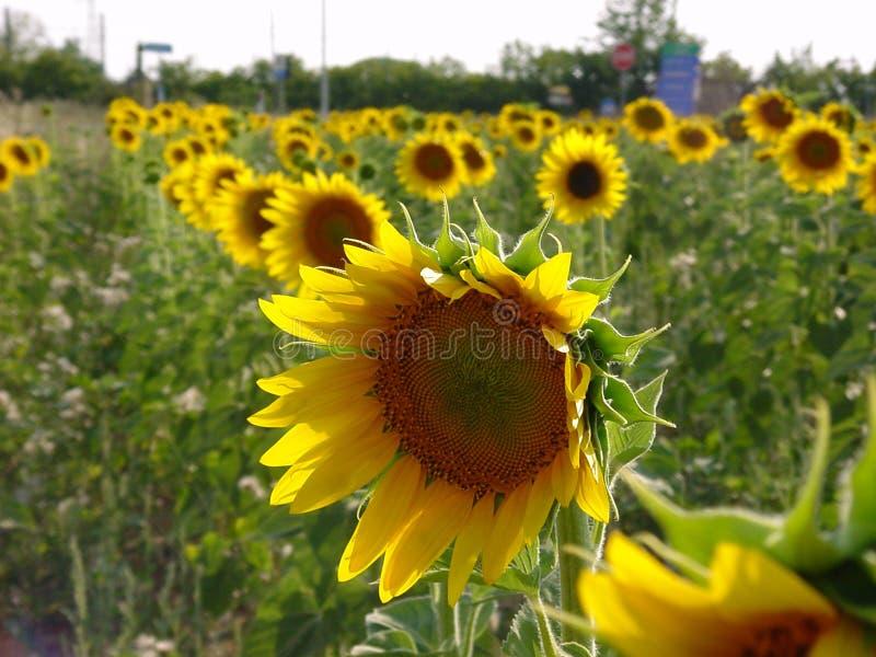 Download Girassol imagem de stock. Imagem de ensolarado, cores, amarelo - 52621