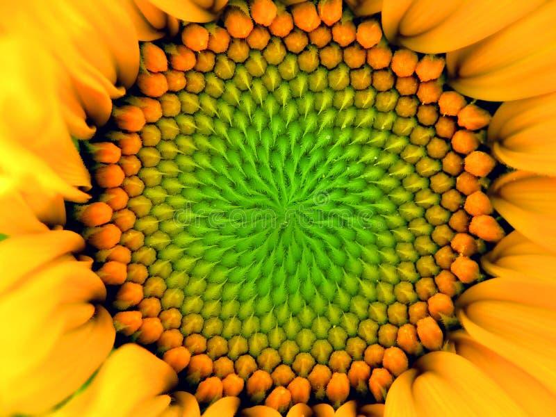 Download Girassol imagem de stock. Imagem de cabelo, pétalas, flora - 527445