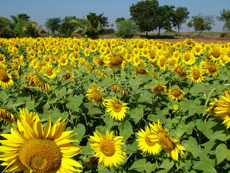 Download Girassol foto de stock. Imagem de puro, campo, closeup, sunflower - 54626