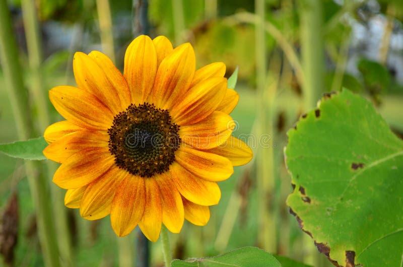Girassol alaranjado amarelo na flor imagem de stock